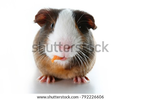 Cute little dutch guinea pig on studio white background. Isolated white pet photo. Sheltie peruvian pigs with symmetric pattern. Domestic guinea pig Cavia porcellus or cavy, is a species of rodent
