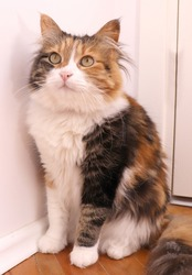 Cute little fluffy female cat with 3 colors sitting in a room staring up