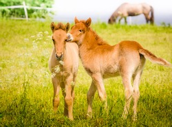 Cute little foal in the meadow