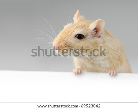 Cute little gerbil standing above white banner