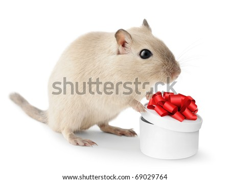 Cute little gerbil with open gift box isolated on white background