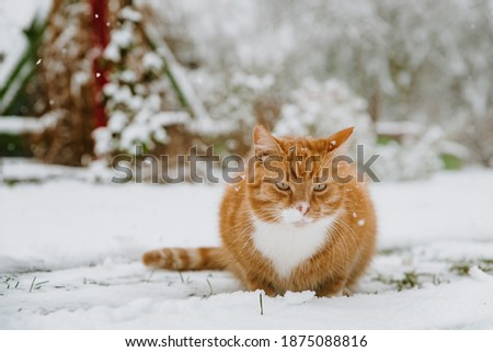Cute little ginger cat sitting on fresh snow outdoors in winter garden during snowfall. Furry cat on snowy frosty winter day