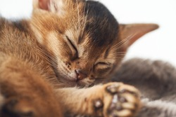 Cute little ginger kitten sleeping on a fur brown blanket Photo of a brown purebred abessin kitten. Dream sleep rest slumber.