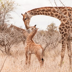 Cute little giraffe cub kissing his mother in the arid Savannah.  Shot in the Kruger National Park, South Africa.