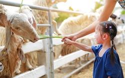 Cute little girl feeding sheeps by grass