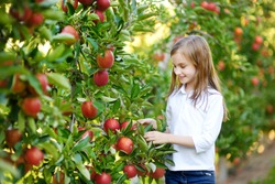 Cute little girl picking apples in apple tree orchard. Child eating apples on apple tree farm in autumn.