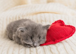 cute little gray fluffy kitten cat briton lies on a white blanket under his head pillow red heart, valentine's day theme