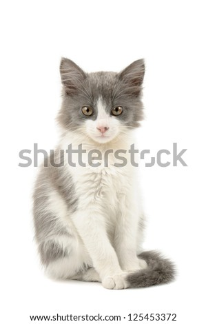 Cute little grey and white fluffy kitten sitting and looking  isolated on white background
