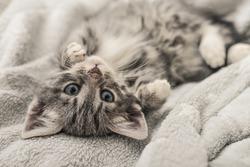 Cute little grey kitten lying on sofa closeup