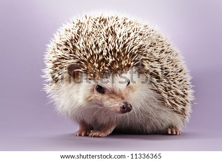 cute little hedgehog, purple background