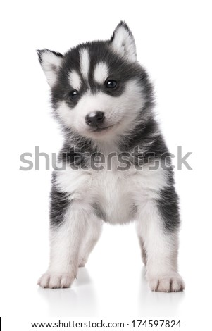 Cute little husky puppy isolated on white background