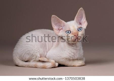 Cute little kitten breed Devon Rex Foto d'archivio ©