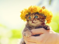 Cute little kitten crowned with a chaplet of dandelion in female hands