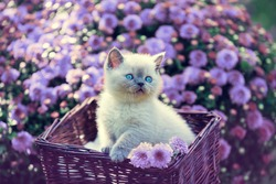 Cute little kitten in a basket in a garden near violet daisy flowers