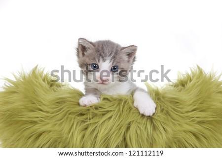 Cute Little Kitten Portrait in Studio on White Background