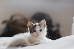 Cute little kitten sitting on soft bed. Portrait of adorable curious grey and white kitty relaxing on cozy blanket in bedroom. Adoption concept