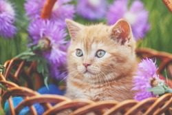 Cute little kitten with flowers outdoors. The kitten sits in a basket in a garden  in spring