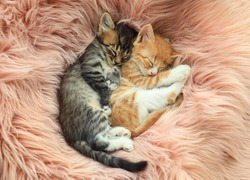 Cute little kittens sleeping on pink furry blanket, top view