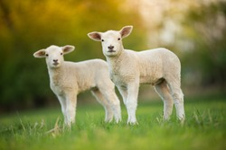 cute little lambs on fresh spring green meadow during sunrise