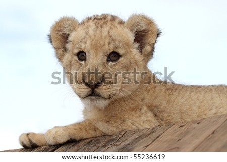 Cute little lion cub with big round eyes