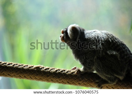 Cute little marmoset monkey looking out at the world