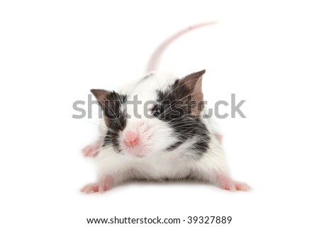 cute little mouse isolated on white background long hair black broken