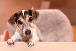 Cute little naughty tricolor Jack Russell Terrier is standing on his hind legs - hair style smooth