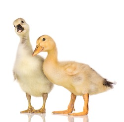 Cute little newborn fluffy gosling and duckling. Two young goose and duck isolated on a white background. Nice birds.