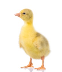 Cute little newborn fluffy gosling. One young yellow baby goose isolated on a white background. Nice geese big bird.