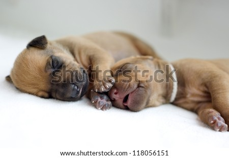 cute little newborn whelps lying together with her mom and sleeping. Image taken isolated on white. The little puppies are two weeks of age.