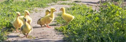 Cute little newborn yellow fluffy gosling.Group of young goslings on grass