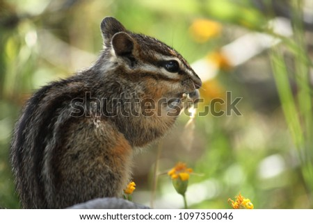 cute little north american eastern chipmunk in Yellowstone National Park Wyoming like a siberian chipmunk, least chipmunk, yellow-pine chipmonk, red-tailed chip monk Chip & Dale Foto stock ©