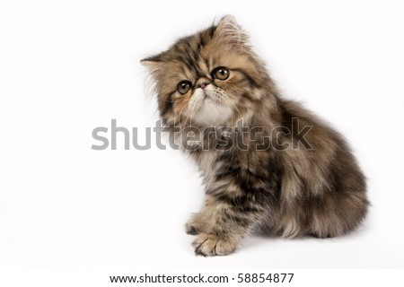 Cute little persian kitten on white background. - stock photo