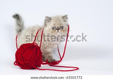 Cute little persian kitten with  red wool ball .