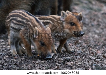 cute little piglets strung together enjoying their meal #1062063086