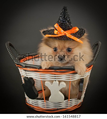 Cute little Pom puppy wearing a witch hat sitting in a Halloween basket on a black background.