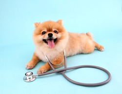 Cute little pomeranian dog with stethoscope as veterinarian on blue background in studio.