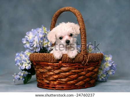 Cute little poodle puppy in a basket with flowers
