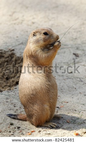 cute little prairie dog in characteristic posture on sandy patch eating