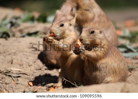 cute little prairie dogs eating carrots