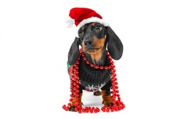 Cute little puppy dachshund wearing Santa Claus red and white hat, wrapped with christmas beads, wearing christmas pullover with deers, standing on white background. Copy space