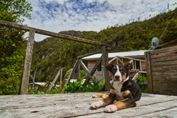 cute little puppy dog on the wooden piers and walkways of lumber town Caleta Tortel at Rio Baker along the Carretera Austral in Patagonia, Chile, South America