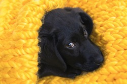 Cute little puppy Labrador retriever lying in a cozy nest of knitted yellow plaid. Baby Labrador Retriever dog wrapped and goes to sleep. Comfort, warmth and  pets care concept.