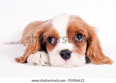 Cute little puppy of Cavalier King Charles spaniel