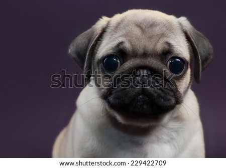 cute little puppy pug