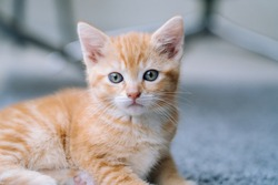Cute little red cat stay on wooden floor with window on background. Young cute little red kitty. Long haired ginger kitten play at home. Cute funny home pets. Domestic animal and Young kittens
