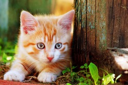 Cute little red kitten playing outdoor. Portrait of red kitten in forest or garden looking interesting. Tabby funny red kitten with blue eyes & white paws ready to jump at home farm. Animal baby theme
