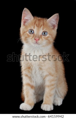cute little red kitten sitting, black background