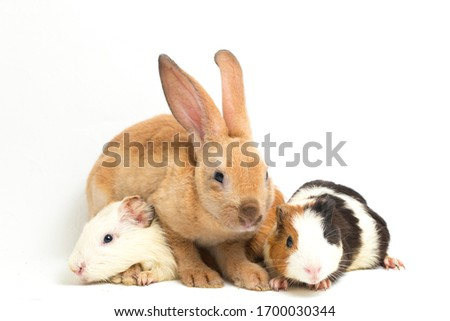 Cute little rex Orange rabbit and guinea pig isolated on white background Сток-фото ©