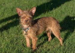 Cute little scruffy dog enjoying a sunny afternoon